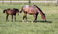 Appaloosa_Mom's and their babies