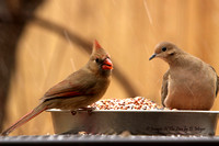 Female Cardinal with Morning Dove